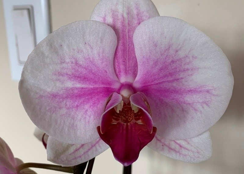 Comfort buy, an orchid. www.connygraf.com